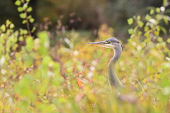 (Leela Channer) Tags: purple heron river nature animal france autumn bird colours