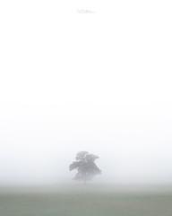 Simplicity (willblakeymilner) Tags: nikon d810 tamron oak tree mist fog tranquil beautiful contrast countryside adobe grass field autumn october england uk oxfordshire