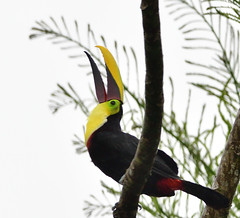 Yellow-throated Toucan (Free_aza_Bird) Tags: ramphastos ambiguus ramphastosambiguus yellowthroated toucan yellowthroatedtoucan celeste mountain lodge celestemountainlodge bijagua alajuela province alajuelaprovince tenorio volcano national park tenoriovolcanonationalpark tenoriovolcano nationalpark rio rioceleste costa rica costarica bird birds birders nationalgeographicwildlife featheryfriday wildlifephotography wildlifeoceania