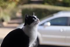 Nyan-Ko      KINN Paris  Anastigmat   F. 105   1 ; 4,5 (情事針寸II) Tags: oldlens ボケ bokeh 高野ニャンコ 猫 animal cat kinnparisanastigmatf105145