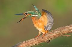 L'ira della martina (rubacolor) Tags: martin pescatore femelle alcedo atthis uccelli birds natura