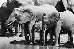 Elephants at the water hole - Timbavati - South Africa (lotusblancphotography) Tags: africa afrique southafrica afriquedusud nature wildlife faune animal elephant éléphant monochrome blanckwhite safari