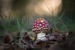 I found one! (Emma Varley) Tags: flyagaric mushroom red white spots fairytale fairies home woods bokeh warm forest igotsomestrangelooksandlotsofattentionfromdogsflatonthefloorforthisone dream nibbled