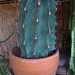 Cactus (9336)