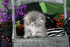 Cute Kitten Pictures (dollfacepersiankittens.com) Tags: persian kittens for sale doll face halloween 2018 cutekittenpictures cutecatpictures cute cutekittenpics catstagram catsofig catsoftumblr catsofgoogle catsoftheworld cutest cats bestcatpictures