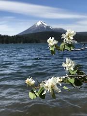 IMG_5191 (1) (Seaflyer~) Tags: sashasphotography sashavanroy mtmcloughlin lakeofthewoods oregon water mountain appleblossoms