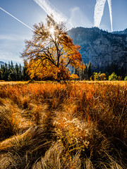 Yosemite Valley Elm in the Fall (Jeffrey Sullivan) Tags: oak tree fall colors cooks meadow yosemite national park photography workshop yosemitenationalpark yosemitevalley yosemitevillage mariposacounty california usa nature landscape travel photographer canon eos 5d mark iv photo copyright 2018 jeff sullivan october photomatix hdr adobe lightroom