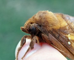 Szomjas pohók (Euthrix potatoria) hím - Drinker male - Grasglucke Männchen (baloghdia1985) Tags: euthrix lasiocampidae moth