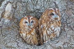 Tawny Owl (drbut) Tags: tawnyowl strixaluco bird birds owl birdofprey avian wildlife nature canonef500f4lisusm