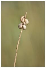 L'intrus !  -  The intruder ! (isabelle.bienfait) Tags: bétahon nikond7200 sigma105 wildlife nature proxi snail escargot
