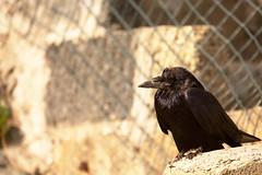 _DSC0913 (Ouverture Sauvage) Tags: bird birds oiseau oiseaux animal animalier animaux lignes ligne nikon d7200 ireland irlande eire sigma 150600 corbeau freux noir black roches rocks escaliers escalier stair stairs