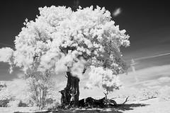 Tree love (Apionid) Tags: oak tree treehugging landscape monochrome blackandwhite nikond40 infrared ir staffordshire