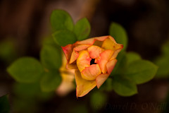 Miniature Rose in September 4 (LongInt57) Tags: miniature rose flower blossom bloom petals leaf leaves yellow pink orange green nature garden kelowna bc canada okanagan red