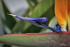 Bird of paradise (Detail) (Explore Oct 30, 2018 #199) (Abariltur) Tags: abariltur castellón spain nikond90 afsvrmicronikkor105mmf28gifed macro flordobleavedelparaíso avedelparaíso craneflowerorbirdofparadise strelitziareginae strelitziaceae strelitzia benicàssim castellóndelaplana