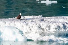 Weisskopfseeadler (GerhardStanke) Tags: kanadaalaska2018 adler seeadler eisscholle gletscher
