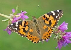 Painted Lady (vanessa cardui) (Robertoboy - Creative Nature & Wildlife) Tags: ngc coth5