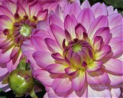 Profusion of Beauty (Jan Nagalski) Tags: profuseblossoms largeflower dahliahill midland michigan centralmichigan bud flowerbud pink rosy rosecolored beauty beautiful gorgeous nature garden gardenflowers