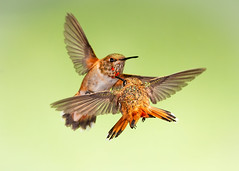 Touché (Eric Gofreed) Tags: arizona hummingbird multiflashphotography mybackyard rufoushummingbirds sedona villageofoakcreek