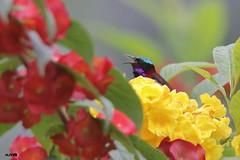 Crimson-backed Sunbird (harshithjv) Tags: bird birding small sunbird crimson crimsonbacked crimsonbackedsunbird leptocoma minima passeriformes nectariniidae aves avian canon 80d tamron bigron g2
