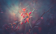 Autumn Series - 26 (Dhina A) Tags: minolta rokkor 250mm f56 reflex mirror sony a7r a7r2 a7rii manuallens 56 autumn fall colors colourful berries