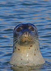 Seal 29-9-18 (legoman1691) Tags: seal sealife nature wildlife mammal