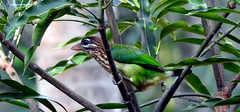 DSCN4124 White-cheeked Barbet (Psilopogon viridis) (vlupadya) Tags: greatnature animal aves fauna indianbirds whitecheeked barbet psilopogon kundapura karnataka