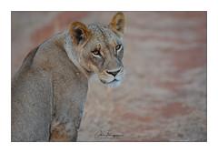 LIONNE Tsavo Ouest Taita Hills (Claire PARMEGGIANI Photos) Tags: africa africanwildlife bigfive eastafrica gamedrive kenya lions safari tsavo wildlife bigcats wildafrica