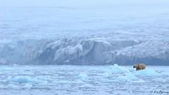 Ursus maritimus (Rémi Bigonneau) Tags: ursusmaritimus polarbear bear ours ourspolaire oursblanc svalbard arctic nature wildlife mammal animal marinemammal