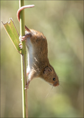 Harvest Mouse on Reed (Darwinsgift) Tags: harvest mouse reed nikkor micro 200mm f4 macro nikon d850
