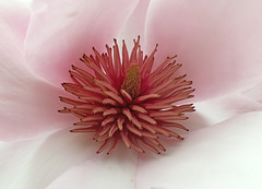 Magnolia Centre (Cornishcarolin. Stupid busy!! xx) Tags: cornwall httpswwwnationaltrustorguktrelissick nature flowers trees magnolia magnoliacentre