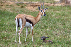 Proud mother (ucumari photography) Tags: ucumariphotography thomsonsgazelle animal mammal richmond virginia va zoo october 2018 eudorcasthomsonii newborn calf dsc0226 specanimal