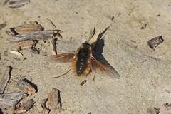 Large Bee Fly (Boulder Flying Circus Birders) Tags: largebeefly boulder colorado wildbirdboulder wildbirdcolorado boulderflyingcircusbirders freebirdwalk saturdaymorningbirders bouldercounty stevefrye