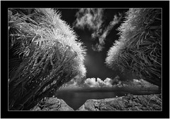 Dragon trees, Garafía, La Palma, Sony A7 IR, Voightlander 10mm (Bartonio) Tags: 720nm bw blanconegro canaryislands clouds drago garafía infrared ir islascanarias lapalma landscape modified monochrome naturaleza nature nubes ocean paisaje sonya7ir voightlander10mm56 stdomingo