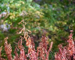 Leaves_120010 (gpferd) Tags: plant burney california unitedstates us