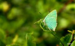 "Green Hairstreak (in ""explore"") (pete Thanks for 5 Million Views) Tags: animalplanet greenhairstreak wickedweasel hwcp greenbutterfly spring"