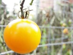 """Photo Series: Life in Drumbo: """"Last tomato of the season"""" (Ken Whytock) Tags: tomato yellow yellowtomato garden autumn drumbo vegetable fruit harvest"""