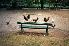(michel nguie) Tags: michelnguie film analog chicken coq poule birds bench park roubaix rbx grass trees leaves