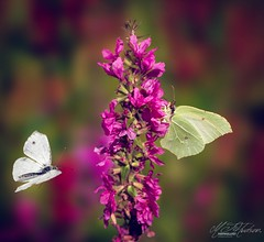 Brimstone and white (Mandyjj543) Tags: butterfly butterfies wings insects insect infocus wildlife canon 100mm lens
