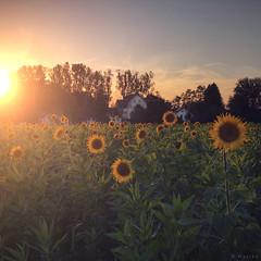 Late Summer (M a r i k o) Tags: iphone iphonex iphoneography iphonephotography mobile mobilephotography mariko square sunflowers sonnenblumen sonnenblumenfeld field flowers sun sunlight light sunset wolfmühle marktschwaben bayern bavaria germany snapseed stackables