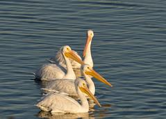 Pelicans in Midland Michigan (Thomas G. Williams) Tags: michigan pelicans