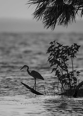 Blue heron in black and white (flintframer) Tags: blue heron florida lake george silver glen wow nature wildlife birds hunting dattilo black white bw monochrome canon eos 7d markii ef600mm