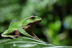 2J4A8098 (ajstone2548) Tags: 12月 樹蛙科 兩棲類 翡翠樹蛙