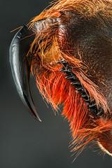 Tarantula fang (andredekesel) Tags: tarantula fang spider chelicera macro focusstacking arthropoda theraphosidae arachnida