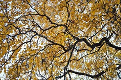 Autumn branches (Stefano Rugolo) Tags: stefanorugolo pentax k5 pentaxk5 kepcorautowideanglemc28mm128 autumn branches trees canopy leaves foliage fall upview up pov manualfocuslens manualfocus manual vintageprimelens vintagelens hälsingland sverige sweden