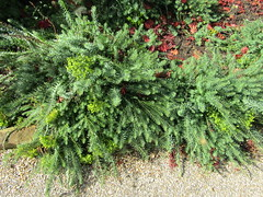 Euphorbia cyparissius (wallygrom) Tags: england westsussex haywardsheath handcross nymans nymansgarden nt nationaltrust