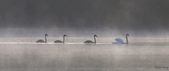 Early morning on Stover Lake. Image 2. (ronalddavey80) Tags: swans early morning mist canon eos70d 70300mm nature