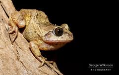 Grey Foam-nest Tree Frog (Chiromantis xerampelina) (George Wilkinson) Tags: tree frog malawi vwaza marsh northern africa herpetology herping amphibian wild macro canon wildlife 7d 60mm chiromantis xerampelina grey foamnest foam nest