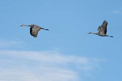Sandhill cranes at Sherburne Wildlife Refuge, Zimmerman, Minnesota (Lorie Shaull) Tags: crexmeadows gruscanadensis sandhillcrane grantsburg bird birdmigration birdwatching birds
