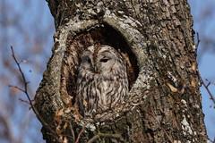 Waldkauz / tawny owl / Strix aluco (Bernd Götz) Tags: kasimir nyphenburgerpark waldkauz tawnyowl strixaluco