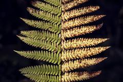 Between summer and autumn (Khuroshvili Ilya) Tags: nature patter texture summer autumn volga green yellow fern forest
